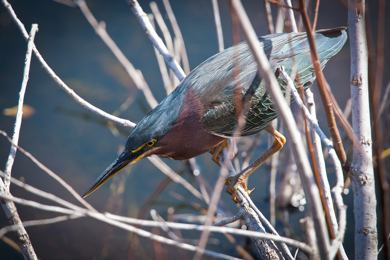 Green Heron, Everglades