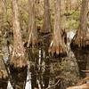 Cypress, Everglades