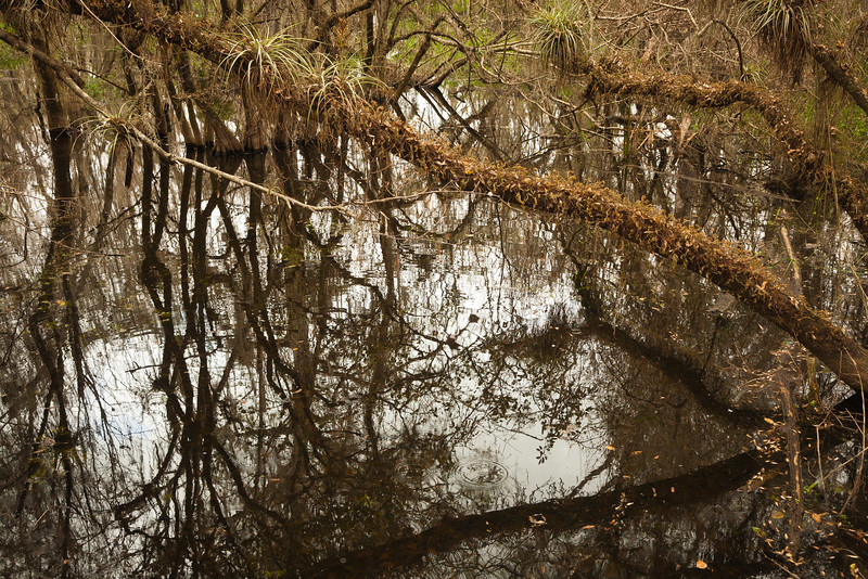 Air plants (epiphytes), Everglades