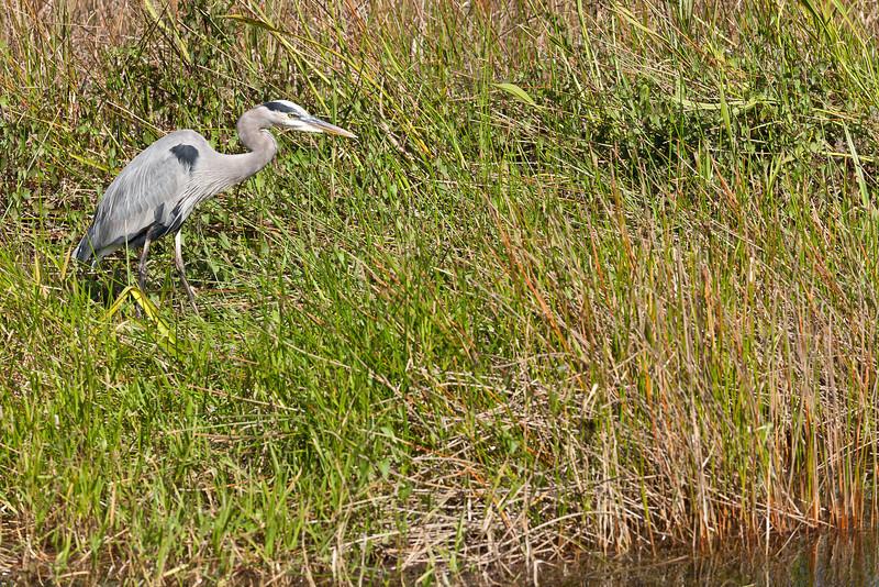 Great Blue Heron, Everglades