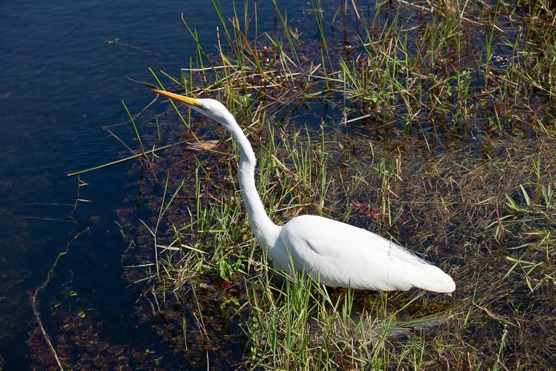 Great Egret, Everglades