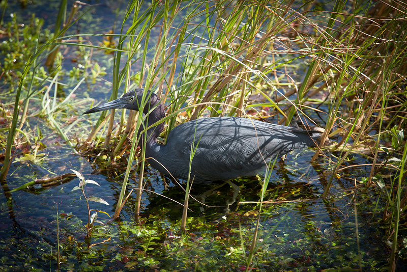 Little Blue Heron, Everglades