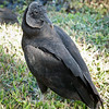 Black Vulture, Everglades