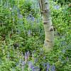 Aspen in bed of lupine