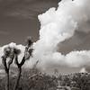 Joshua Tree and Clouds