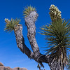 Joshua tree in bloom