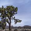 """Granddad"" Joshua tree"