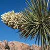 Joshua tree flower