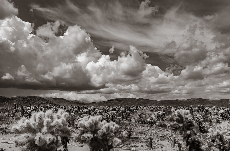 Cholla Garden and Clouds