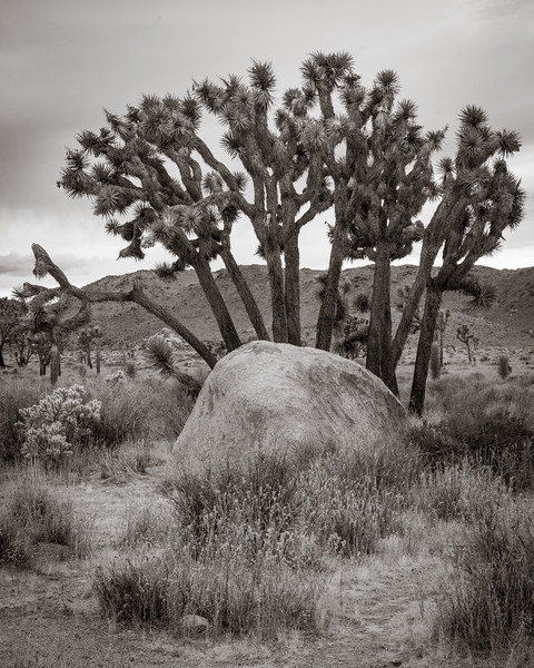 Joshua Trees and Rock