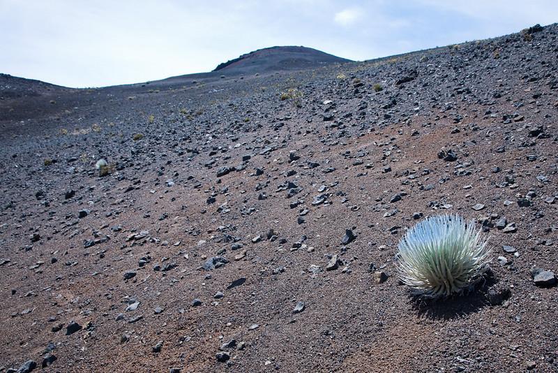 Silver Sword, Haleakala Crater.