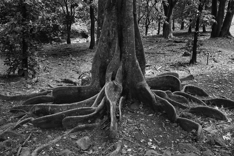 Roots. Ke'anae Arboretum.