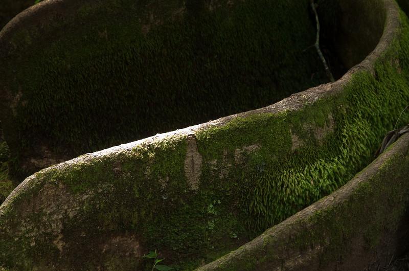 Roots. Ke'anae Arboretum