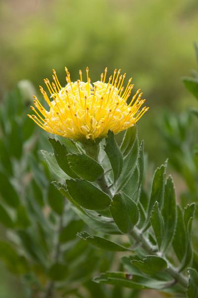 Pincushion flower. Kula Botanical Garden