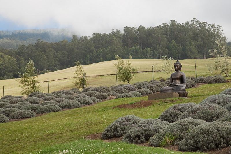 Buddha. Ali'i Kula Lavender