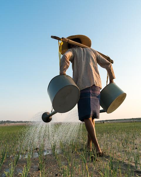 Irrigating onions