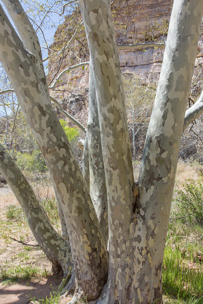 Sycamore Trees, Montezuma Castle National Monument, AZ