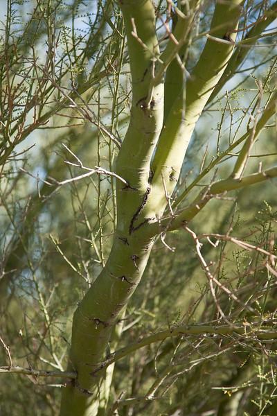 Palo Verde, Desert Botanical Garden