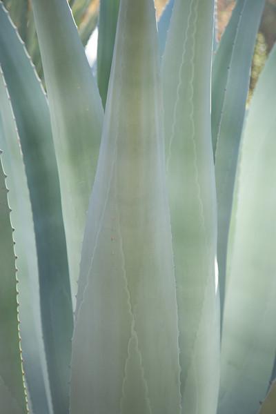 Agave, Desert Botanical Museum