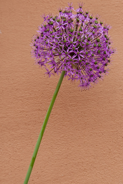 Allium, Gerald Peters Gallery