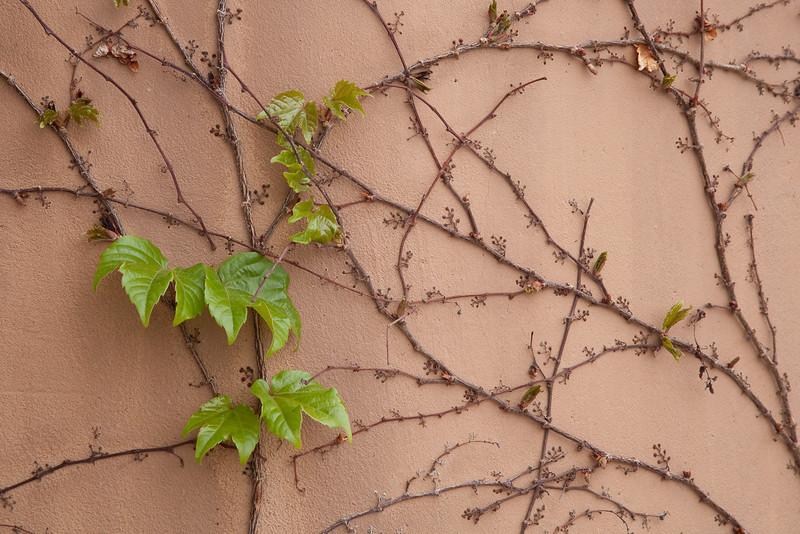 Ivy, Gerald Peters Gallery