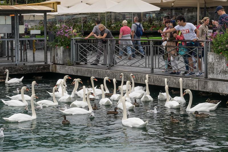 Begging swans, ducks, and gulls; Rhone River, Geneva