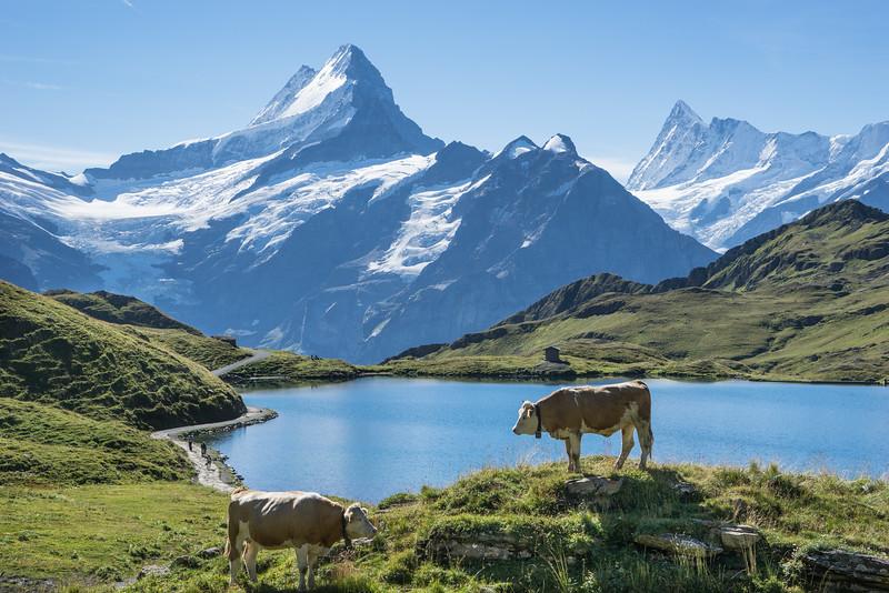 Cows, Bachalpsee, Schwarzhorn