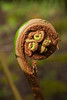 Fiddlehead, tree fern