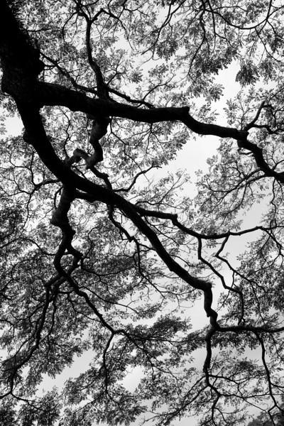 Monkeypod Tree branch