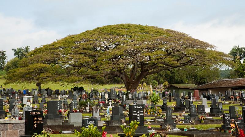 Monkeypod tree in Japanese Cemetery, Hilo