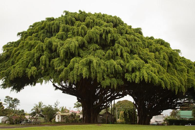 Banyan Trees, Honomou