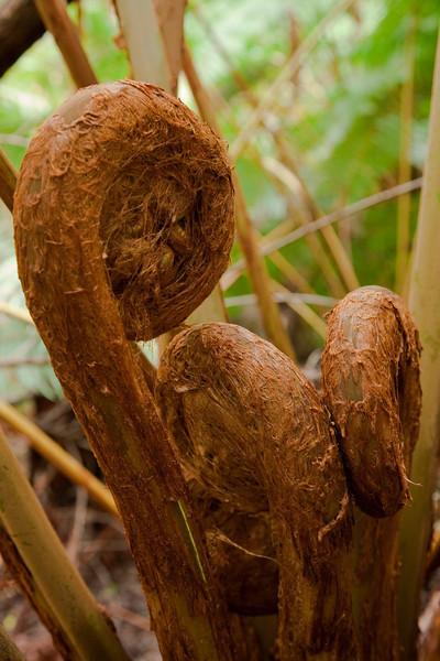 Fiddleheads, tree fern