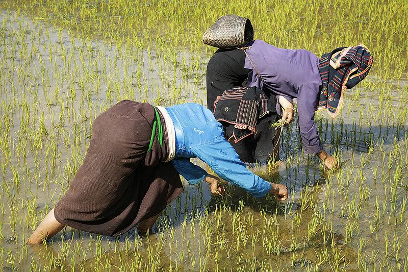 Transplanting-rice-2