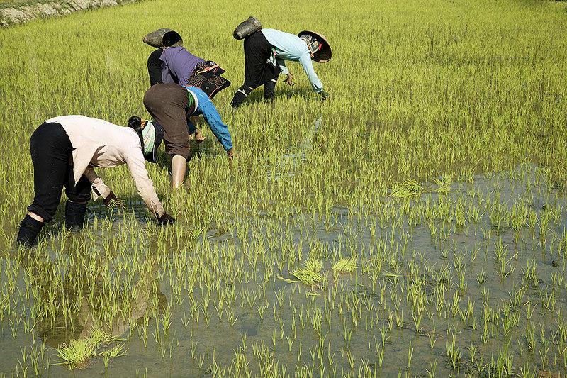 Transplanting-rice-1