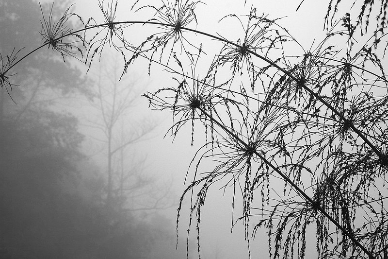 Grass-in-fog-2