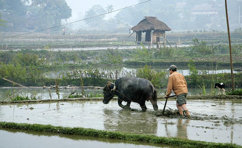 Plowing rice paddy, Mai Chau