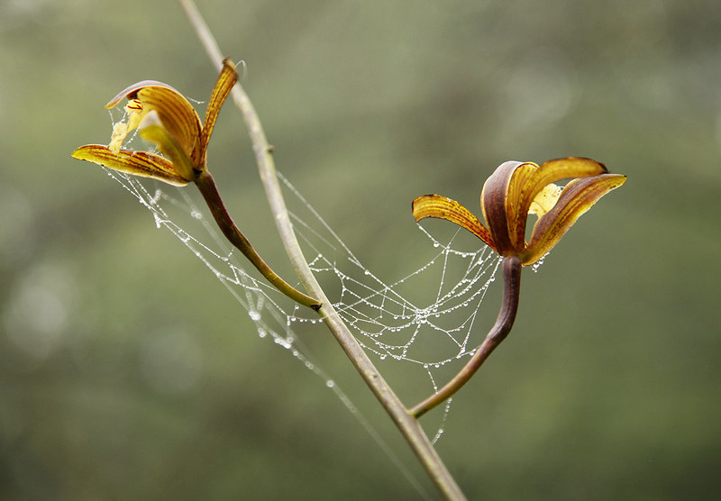 Spider-web-on-orchid