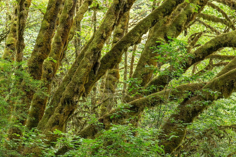 Mossy Maple Trees