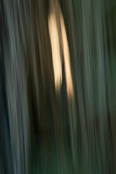 Abstract light on Redwood Trunk
