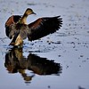 Lesser Whistling Duck (Dendrocygna javanica) or Lesser whistling teal drying her wings in the blue waters of a lake in Ranthambhore