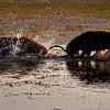 Two male Sambar deer sparring in a lake in Ranthambhore