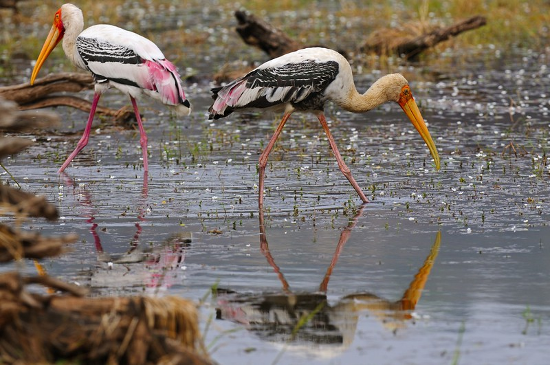 Two Painted Storks (Mycteria leucocephala) feeding in a lake in Ranthambhore national park
