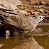 Oriental Honey Buzzard drinking from a water hole with droplets of water falling off