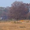 Tiger in its habitat in Ranthambhore national park, India