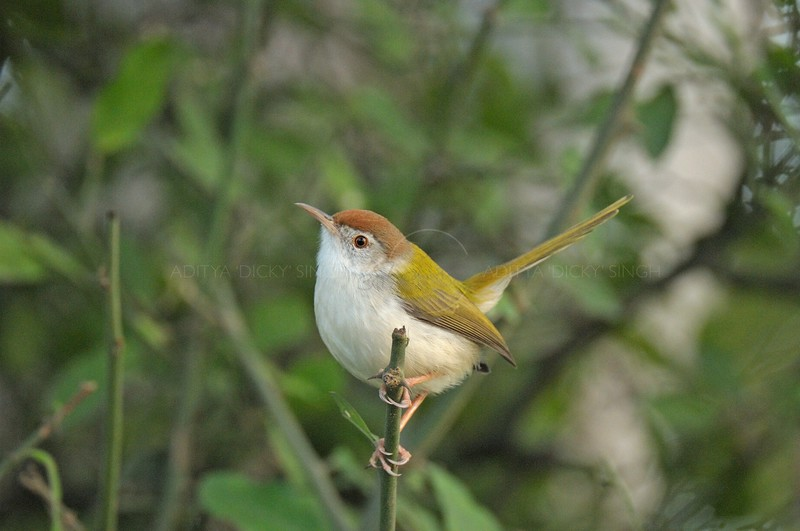 Common Tailorbird (Orthotomus sutorius) in a bush in Ranthambhore national park
