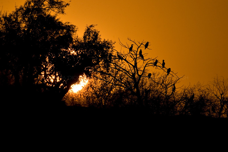 Silhouette of trees at Sunset in Ranthambore national park