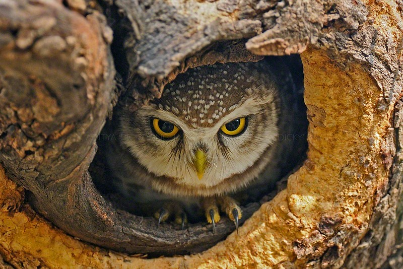 Spotted Owlet (Athene brama) in a tree hole Ranthambhore national park