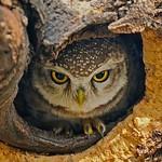 Spotted Owlet (Athene brama) in a tree hole Ranthambhore national park