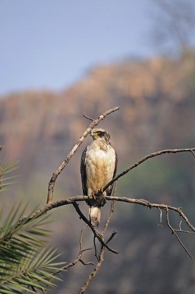 Juvenile Crested Serpent Eagle (Spilornis cheela or Kanmuri-washi) on a tree perch in Ranthambhore tiger reserve in India.