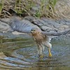 Shikra (Accipiter badius) bathing in a water pool in Ranthambhore